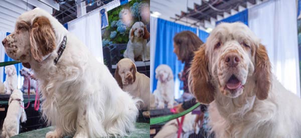 clumber spaniel meet the breeds booth