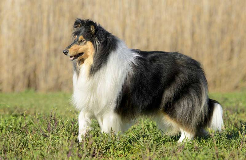 collie in field