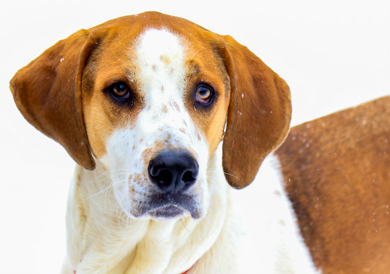 Is the American Foxhound Right for You? Special Traits of a Venerable Breed – American Kennel Club