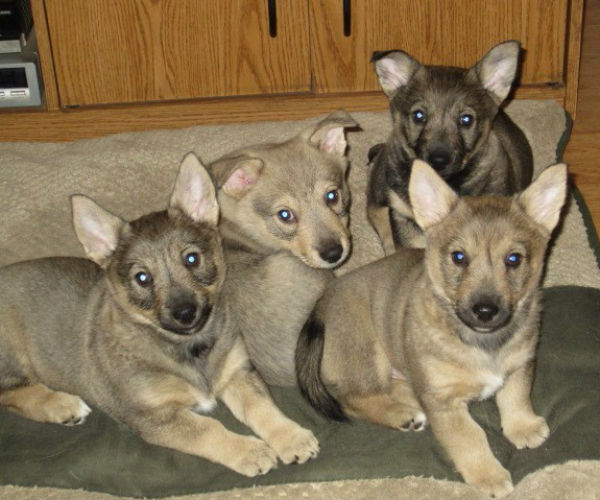 swedish vallhund pups