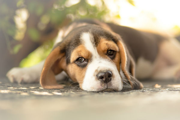 beagle puppy laying
