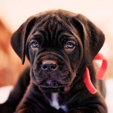 Cane Corso puppy/Courtesy Janet Gigante