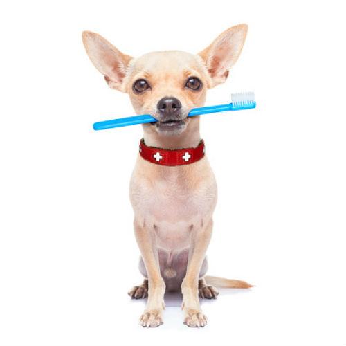 Chihuahua_brush