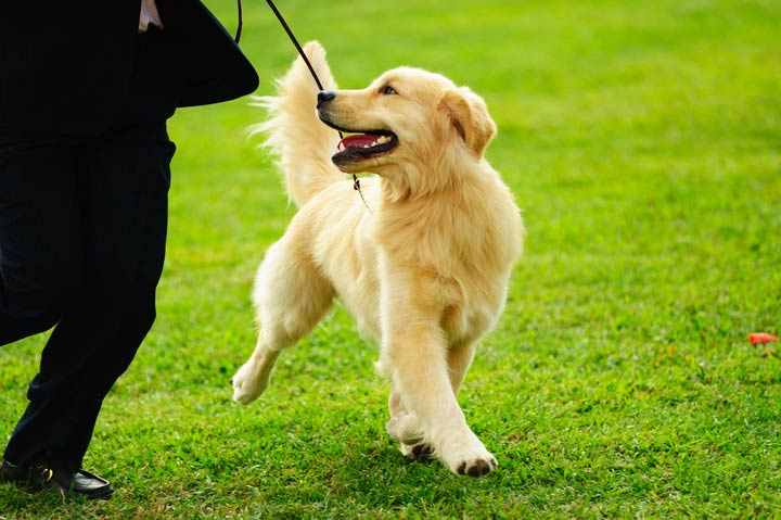 Leash Training A Puppy American Kennel Club
