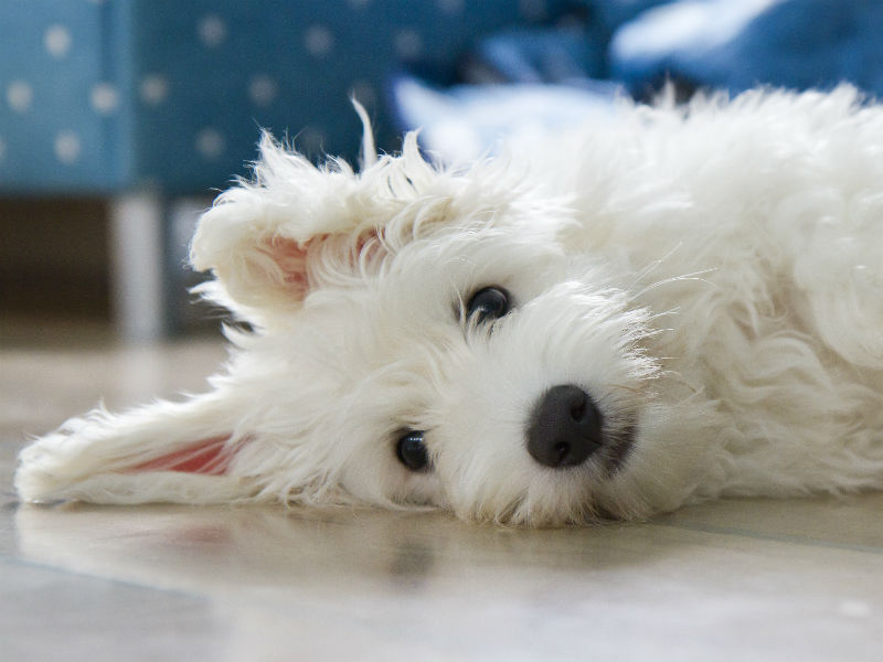 [coton de tulear puppy laying]