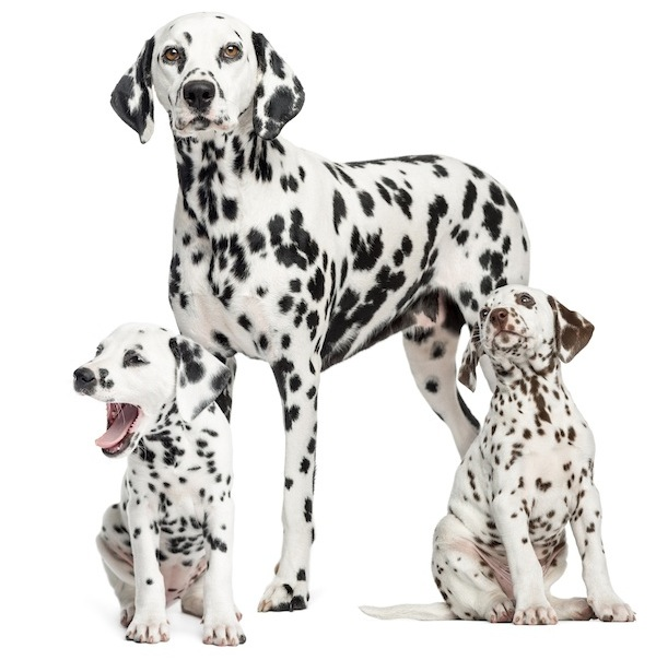 dalmatian with pups