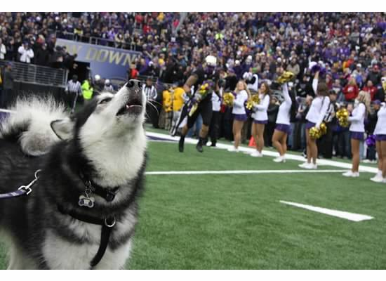 the most popular canine college football mascots american kennel club