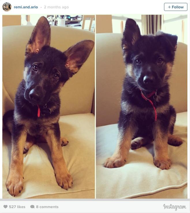 GSD puppy instagram