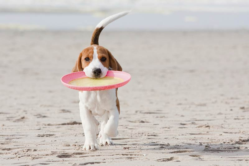 beagle on the beach