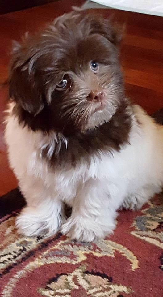 Havanese puppy/Courtesy Janet Gigante