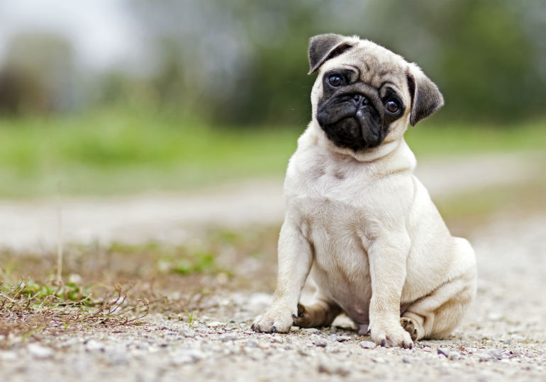 10 Things You Didnt Know About The Pug American Kennel Club