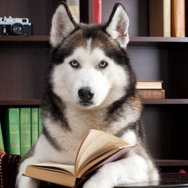 husky studying