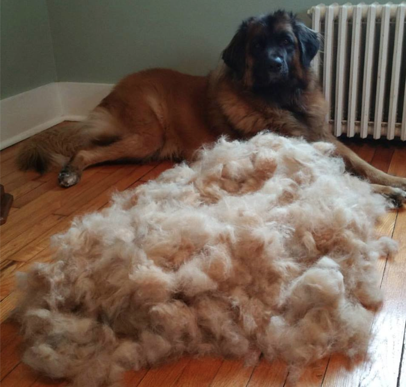 leonberger shedding