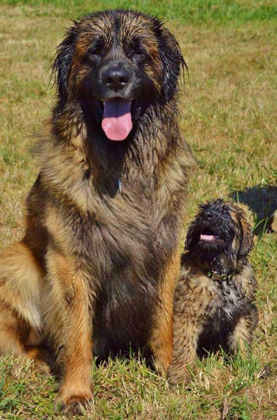 leonberger and pup