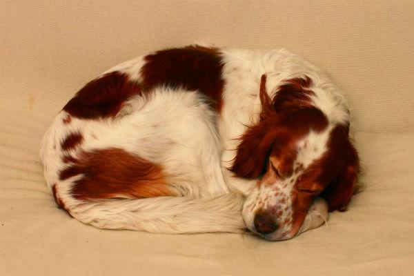 sleeping irish setter