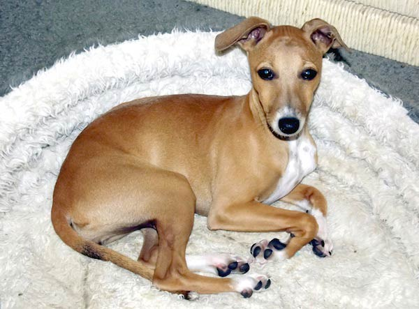 Italian Greyhound puppy in bed