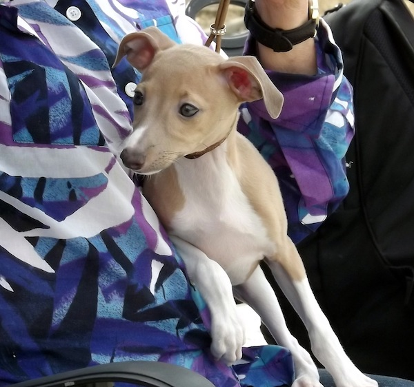 Italian Greyhound in lap
