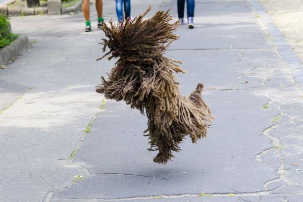 jumping puli