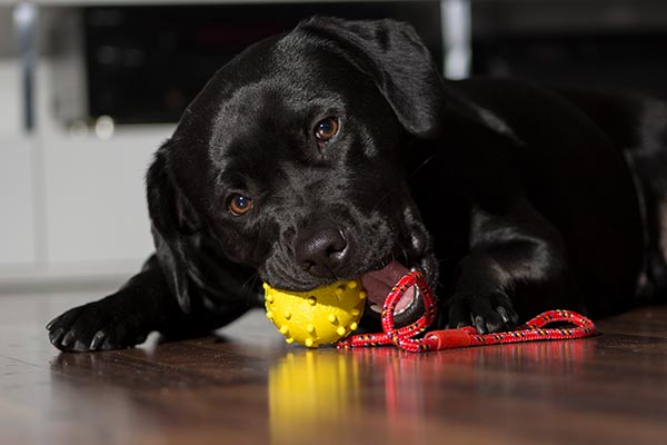 Lab-puppy-chew-toy