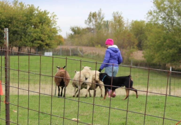 rottie herder training
