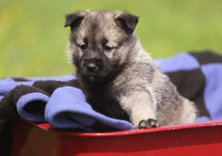 norwegian elkhound header