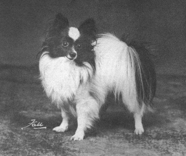 The first Papillon to win Best in Show in the U.S. was Eng./Amer. Ch. Offley Black Diamond, who was BIS at the Bridgewater Kennel Club show in 1936.