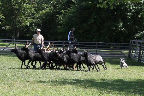 pumi herding
