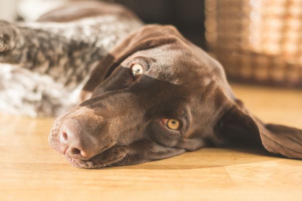 resting puppy