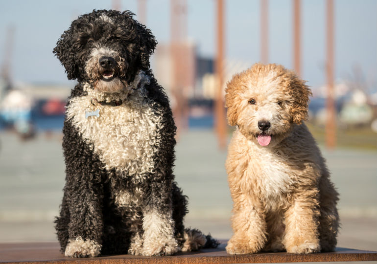 2c5fb89c50e 7 Things the Spanish Water Dog Is... and Isn't – American Kennel Club