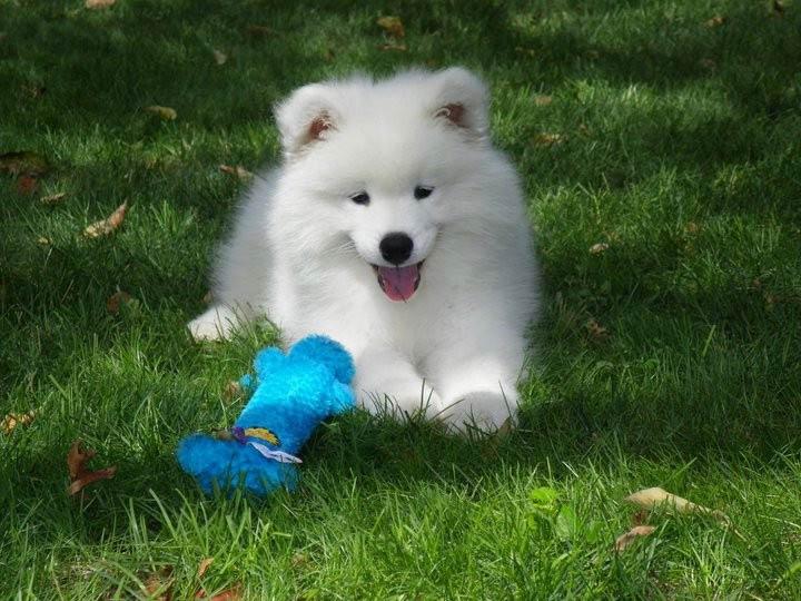 Samoyed puppy, courtesy Deb Nier
