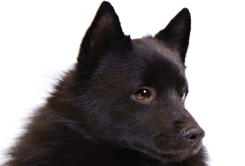 Schipperke-body-headshot