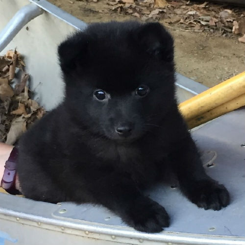 Schipperke_body_puppy