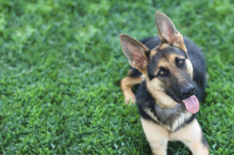 german shepherd in the grass