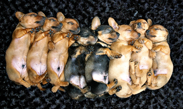 wirehaired dachschund puppies