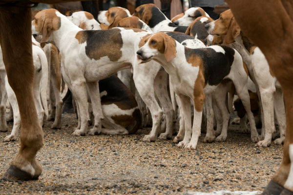 american foxhound pack