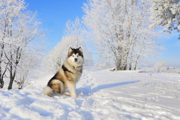 alaskan_malamute_cold_weather_breeds_