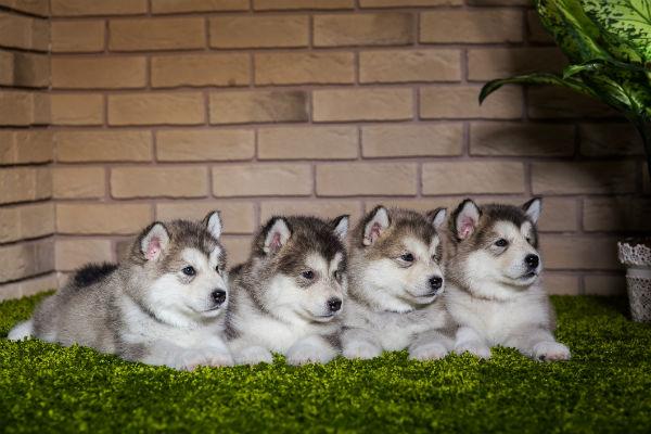 malamute pups