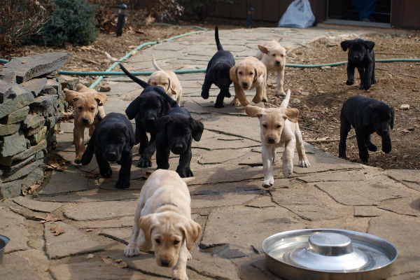 8 Fun Facts About the Labrador Retriever – American Kennel Club