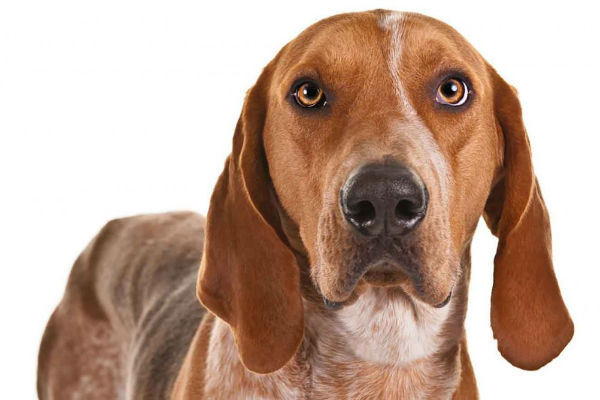 ae coonhound1