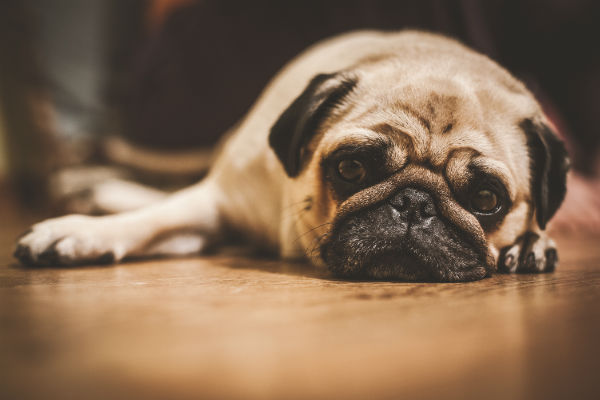 anxious_pug