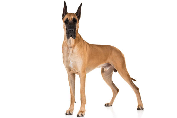 apollo_of_dogs