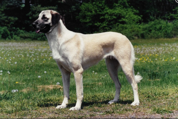 8 Things You Didn't Know About the Anatolian Shepherd Dog – American