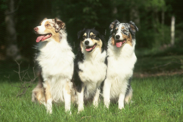 8 Things You Didn't Know About the Australian Shepherd