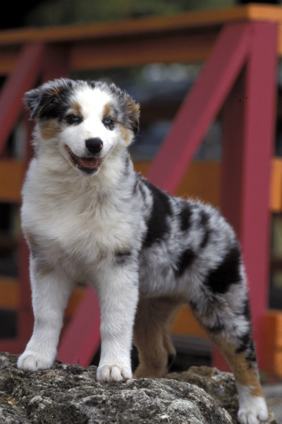 8 Things You Didnt Know About The Australian Shepherd