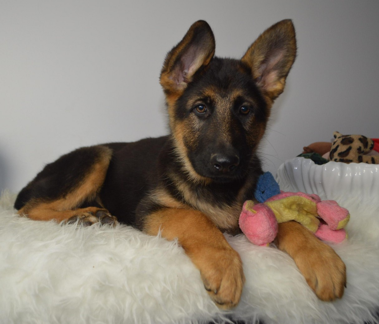 6 Tips For Grooming Your German Shepherd Dog American Kennel Club