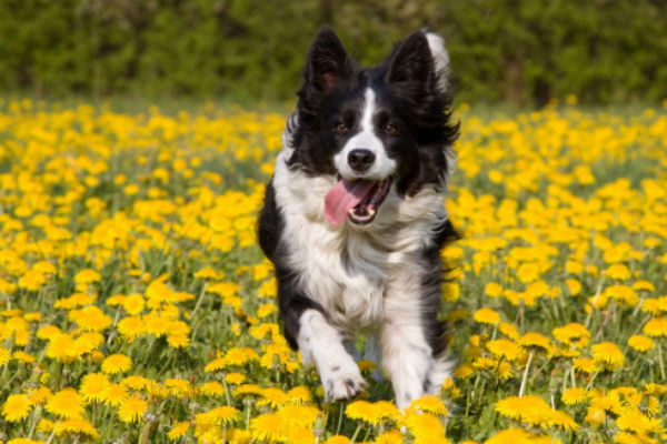 border collie with dandelions