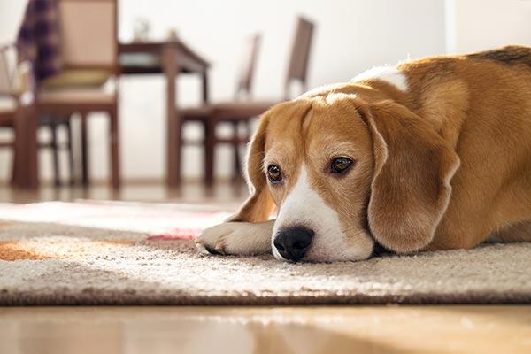 beagle-laying-on-carpet-body