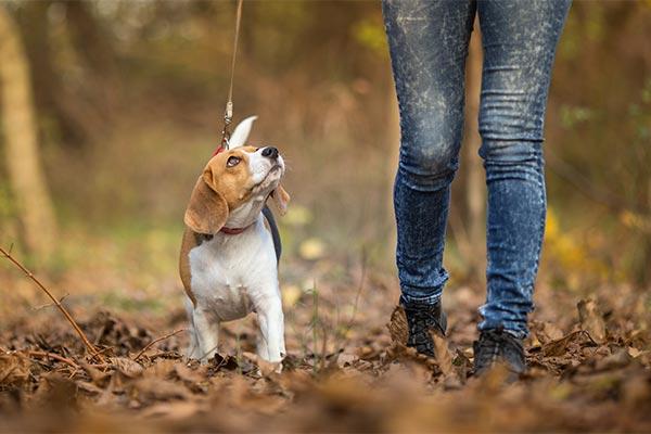 beagle-training-walk
