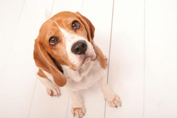 beagle begging