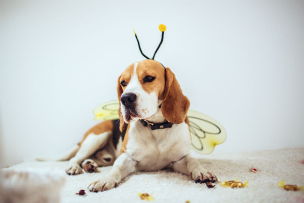 beagle dressed as bee